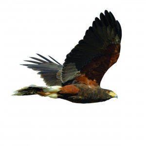Harris Hawk in Flight